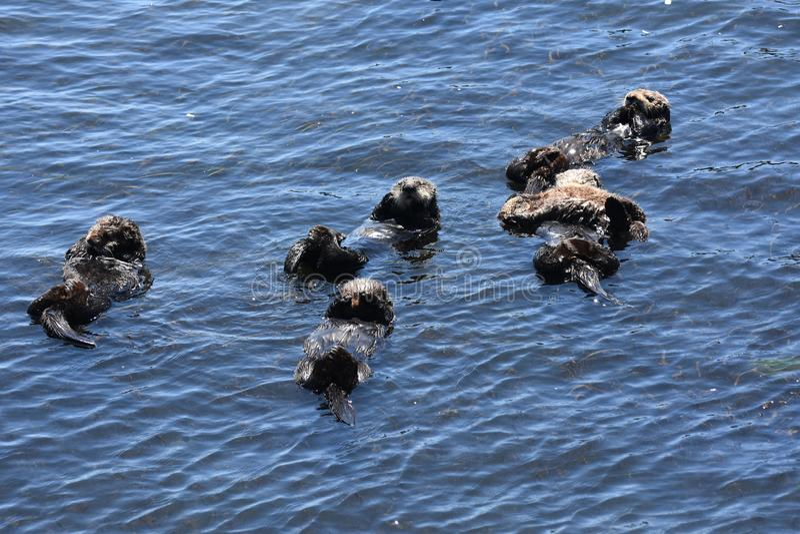 Große Gruppen-Seeotter, die auf ihre Rückseiten in Morro-Bucht schwimmen lizenzfreies stockbild