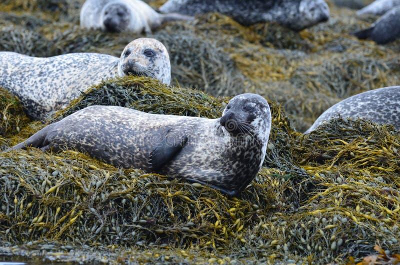 Große Hafen-Robbenkolonie in Schottland stockbild