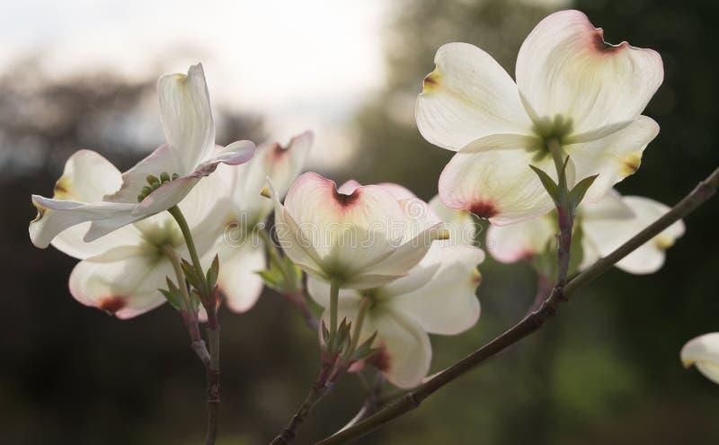 Große Hartriegel-Blüten mit dem Sonnenlicht, das durch strömt stockbild