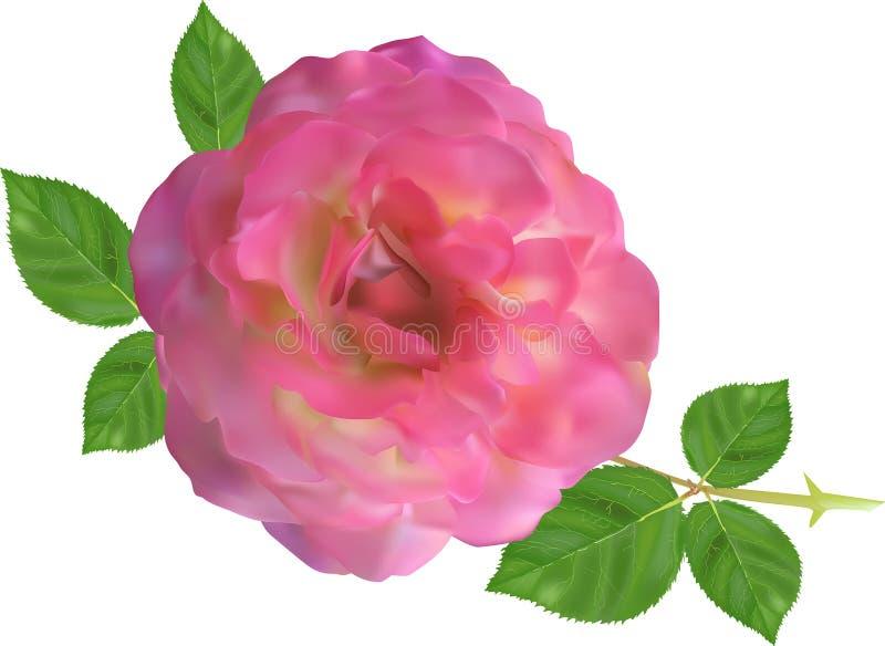 Große hellrosa rosafarbene Blume mit kleinen grünen Blättern auf Weiß lizenzfreie abbildung