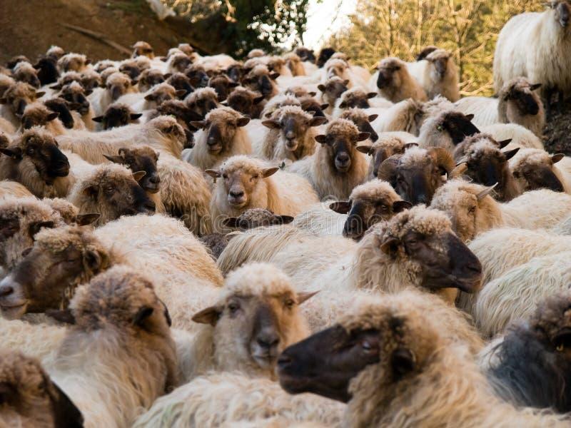 Große Herde der Schafe stockfoto