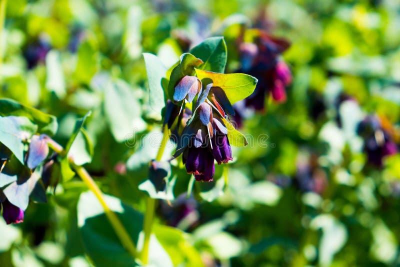 Große honeywort Blume am sonnigen Frühlingstag im Garten lizenzfreie stockfotografie