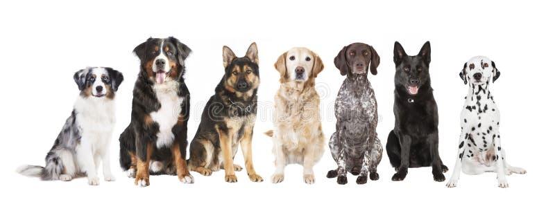 Große Hunde lokalisiert stockbilder