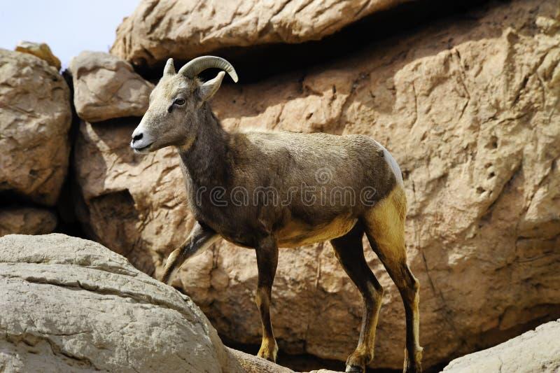 Große Hupen-Schafe lizenzfreie stockbilder