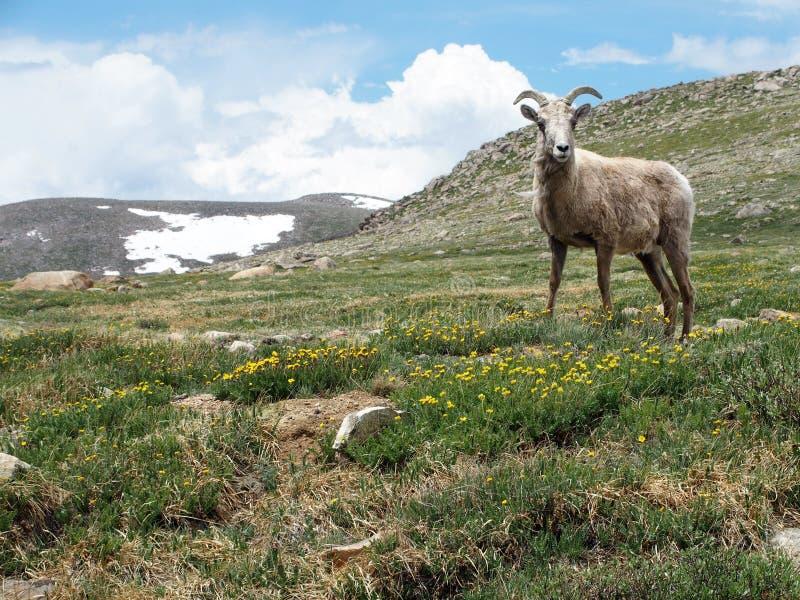 Große Hupen-Schafe stockbilder