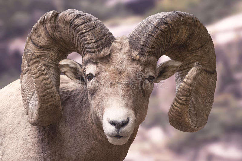 Große Hupen-Schafe lizenzfreie stockfotografie
