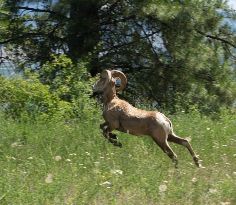 Große Hupen-Schafe stockfotografie