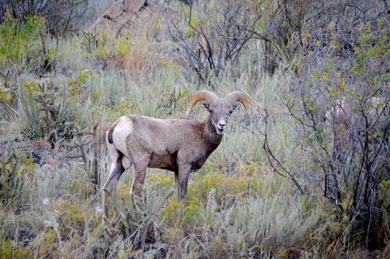 Große Hupen-Schafe Canon-Stadt Colorado stockbild