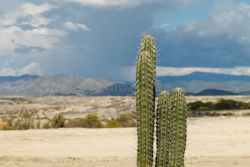 Große Kakteen in der roten Wüste, tatacoa Wüste, Kolumbien, Latein Amer stockfoto