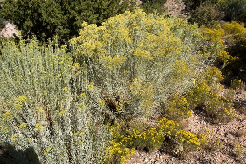 Große Kaktusbüsche umgeben durch kleine gelbe Kaktuspflanzen lizenzfreie stockfotos