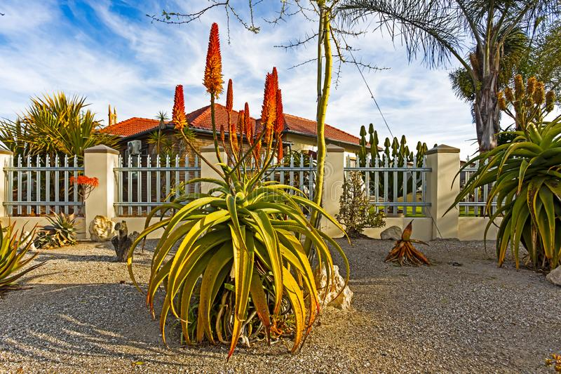 Große Kap-Aloe mit den roten und gelben Blumen stockfotos