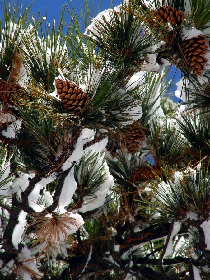 Download Große Kiefer-Kegel stockbild. Bild von frieden, zweig, skiing - 33797