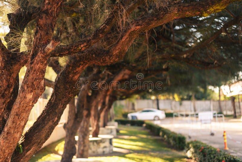 Große Kiefern gepflanzt in den Parks stockfoto