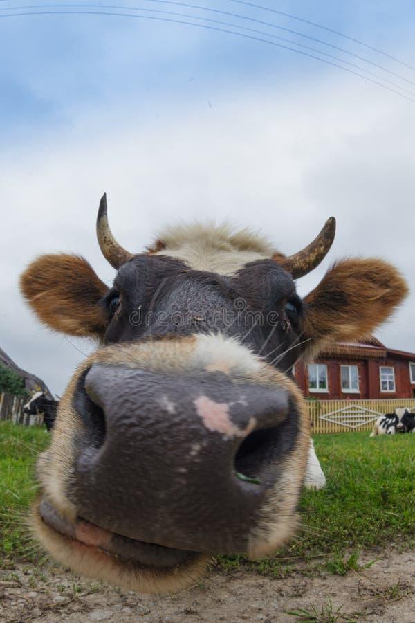 Große Kuh stockbild