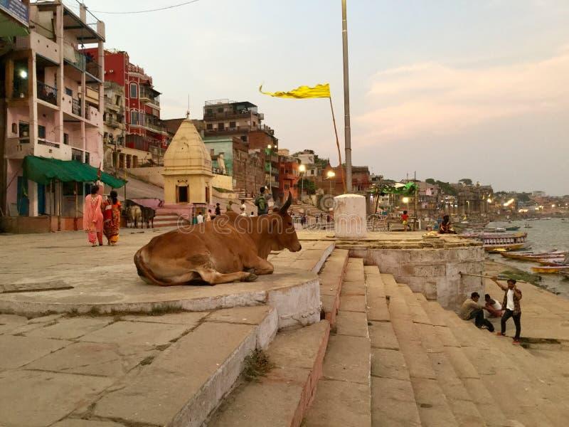 Große Kuh durch den Ganges stockbilder
