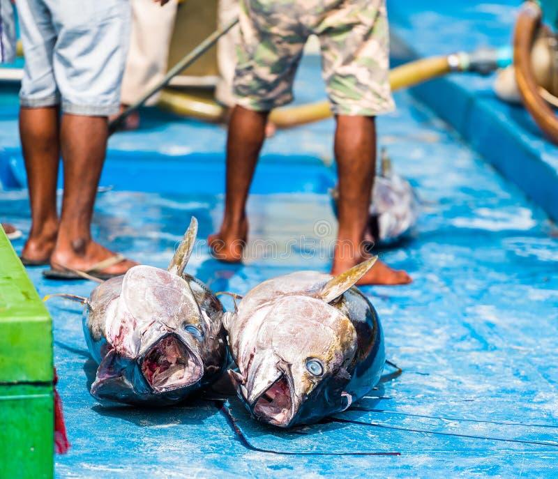 Große Lüge des Thunfischs zwei auf Plattform, Mann, Malediven Kopieren Sie Raum für Text lizenzfreie stockfotografie