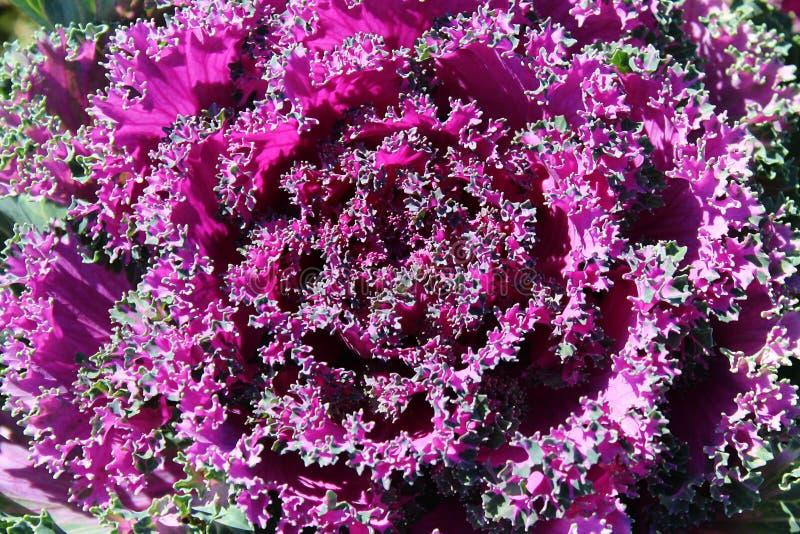 Große lila Blume des Hintergrundes ist Kohl ähnlich lizenzfreie stockfotografie
