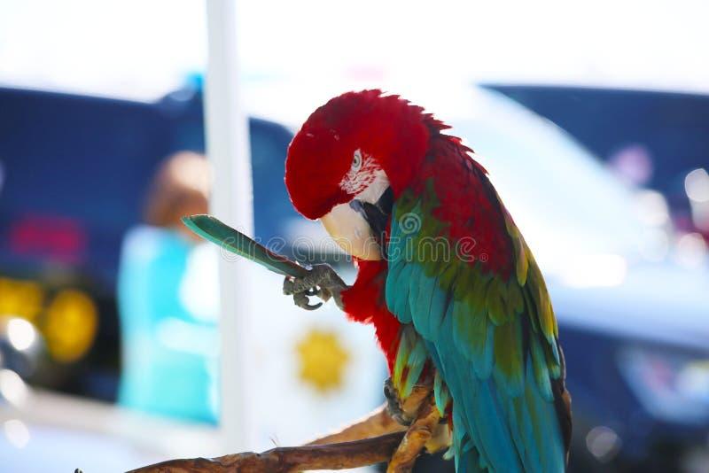 Große Macaw-Parrot-Holding-Feder lizenzfreie stockbilder