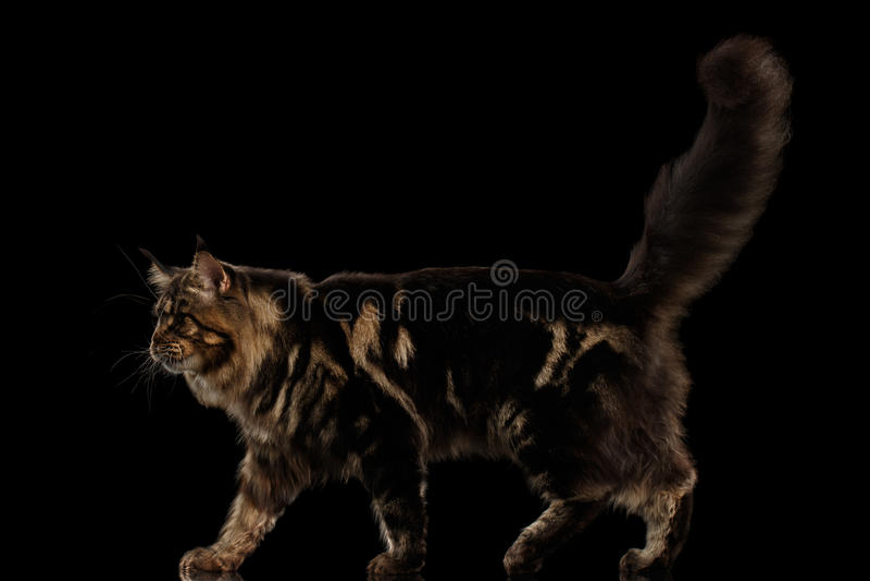 Große Maine Coon Cat Walk, Pelzendstück, lokalisierter schwarzer Hintergrund lizenzfreie stockfotografie