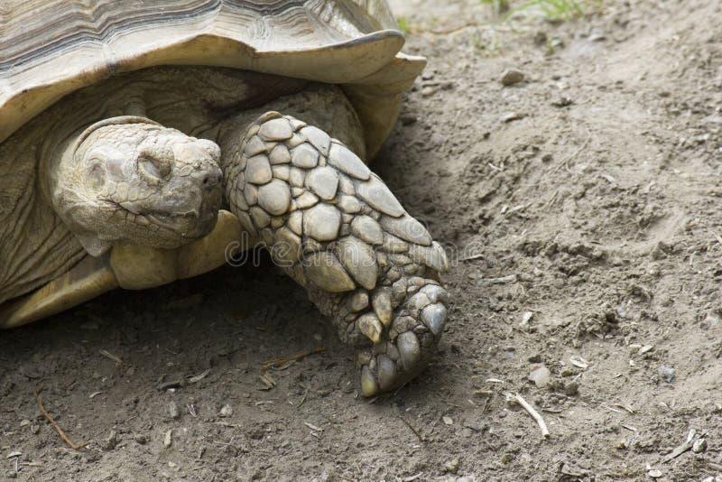 Große nahe gemusterte Schildkröte mit copyspace lizenzfreies stockfoto