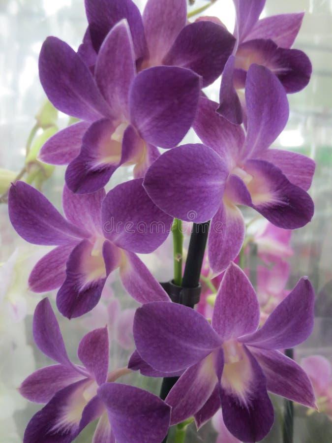 Große Orchidee blüht Purpur stockbild