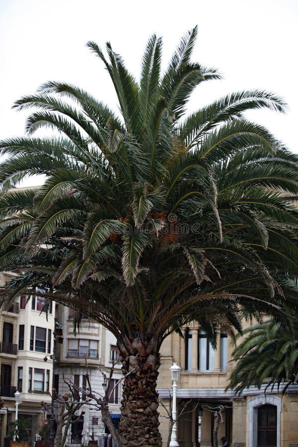 Große Palme mit Gebäuden lizenzfreie stockfotografie