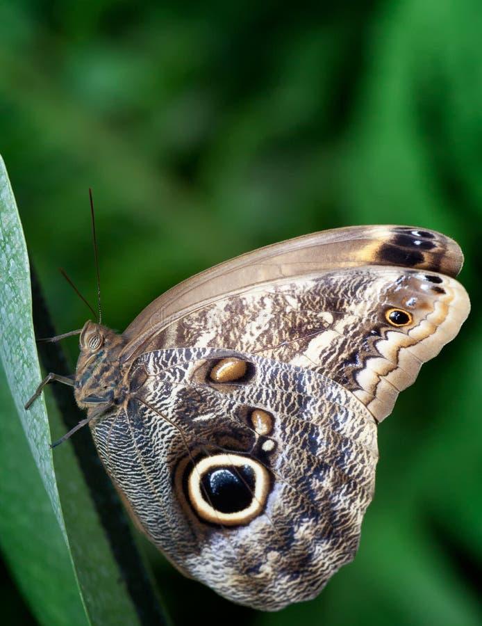 Große peackcock Motte, die auf einem Blatt stillsteht stockfoto