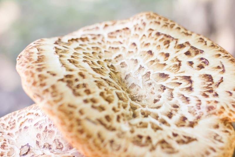 Große Pilzkappe gewellt, weiß mit einem braunen Muster, ein Symbol des Herbstes stockfoto