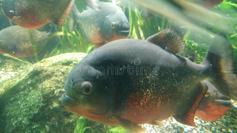 Große Piranas-Fische lizenzfreie stockfotos