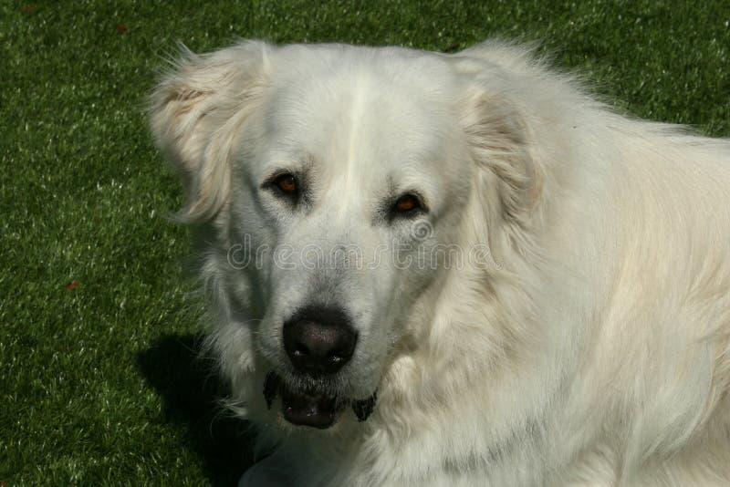 Große Pyrenäen-Hund auf Rasen stockfotos