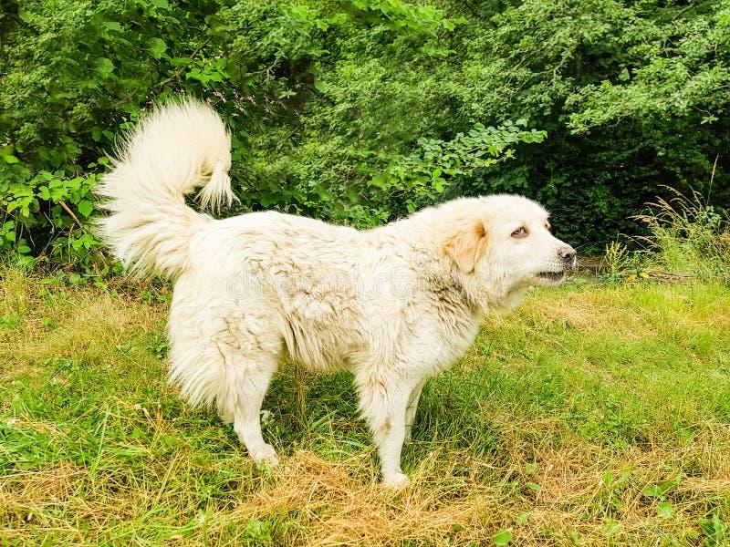 Große Pyrenäen-Hund Patou am Rand des Waldes lizenzfreie stockbilder