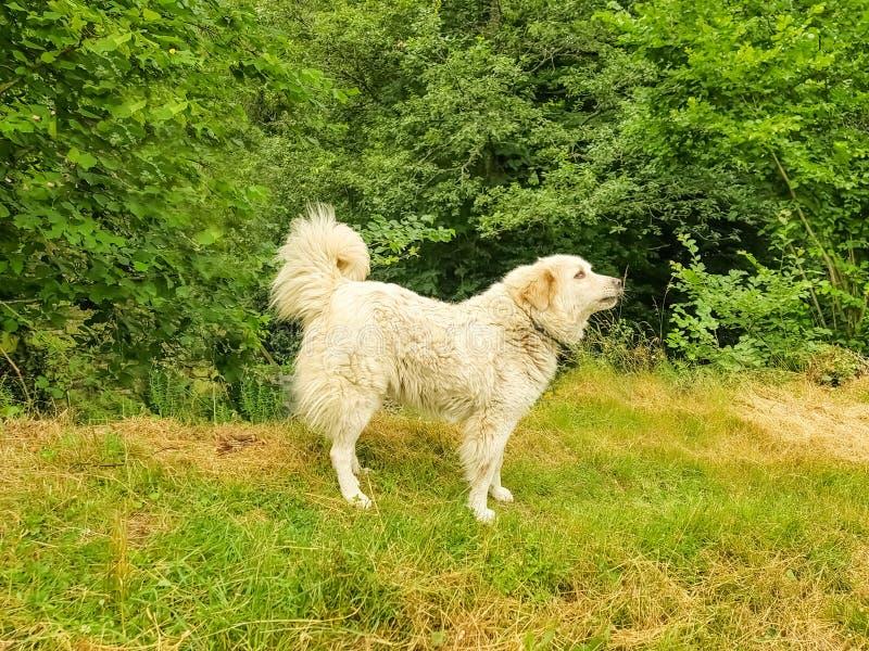 Große Pyrenäen-Hund Patou am Rand des Waldes stockfotografie