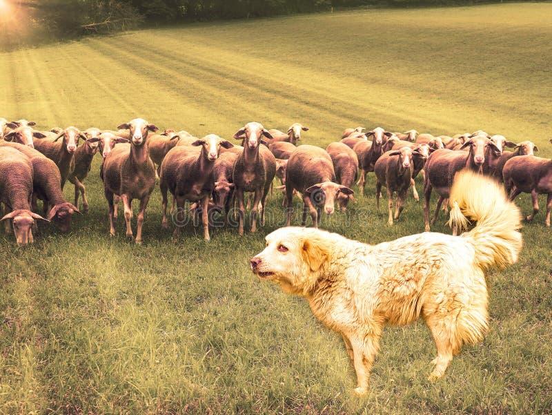 Große Pyrenäen-Hund Patou und Gruppe Schafe auf dem Feld in den Strahlen des aufgehende Sonne stockbilder