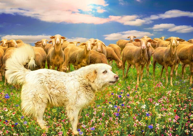 Große Pyrenäen-Hund und Gruppe Schafe auf einem bunten mehrfarbigen Feld von Blumen in der Sonne stockbilder