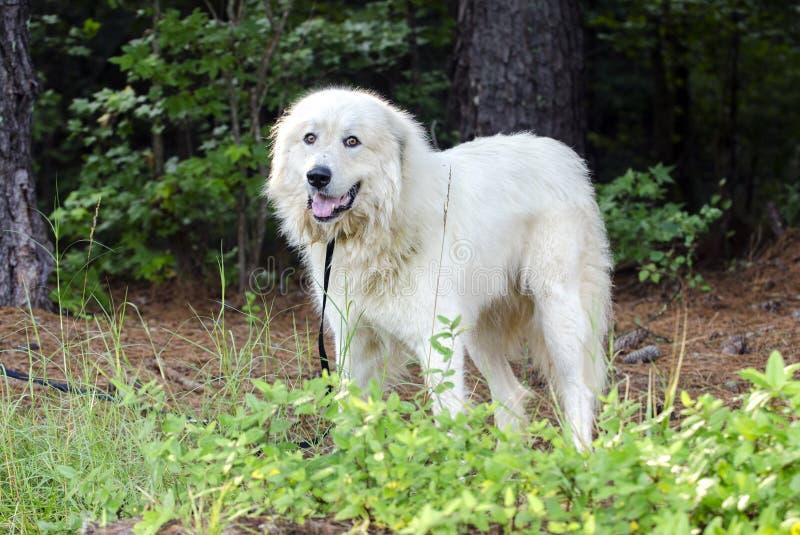 Große Pyrenäen-Viehbestand schützen Dog lizenzfreie stockfotografie