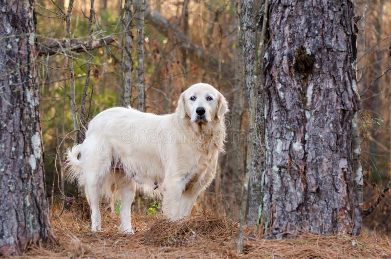 Große Pyrenäen-Viehbestand-Wächter-Hund stockbilder