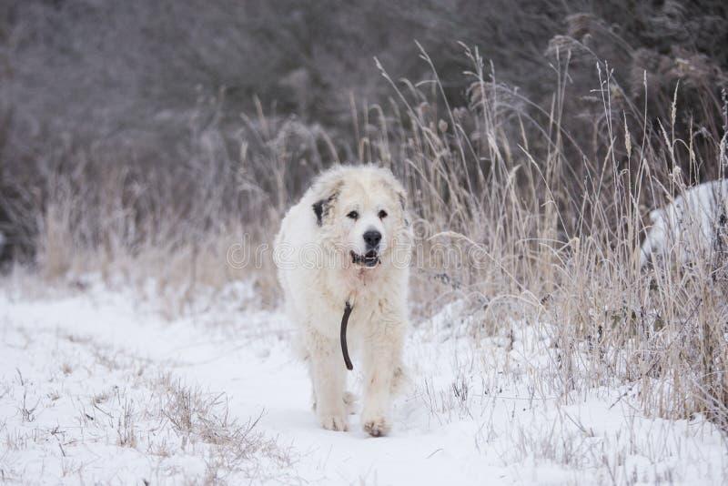 Große Pyrenees-Hund stockbild