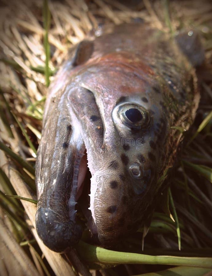 Große Regenbogenforellefische fliegen Fischereiporträt stockfotografie