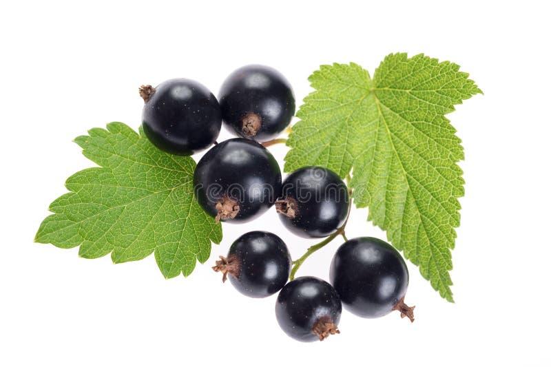 Große reife Beeren der schwarzen Johannisbeere mit Blättern Nahaufnahme, an lokalisiert lizenzfreie stockbilder