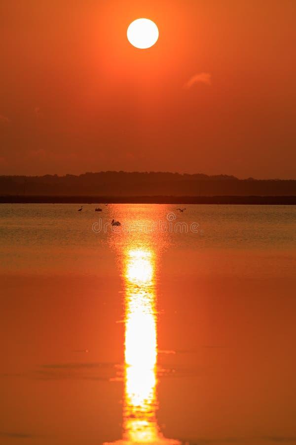 Große Reiher, Pelikane und Graureiher zum Frühstück am frühen Morgen bei Sonnenaufgang am kahlen Griff-Schutzgebiet stockbild