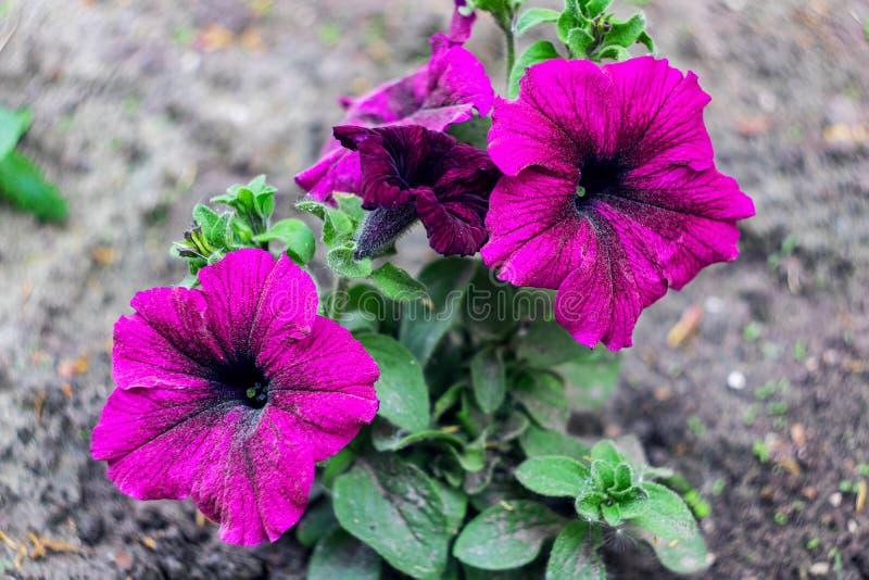 Gro?e rosa Blumen und gr?ne Bl?tter schlie?en oben stockfoto