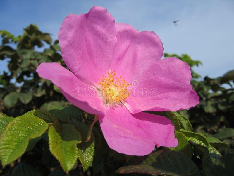 Große rosa Hagebuttenblume lizenzfreie stockbilder