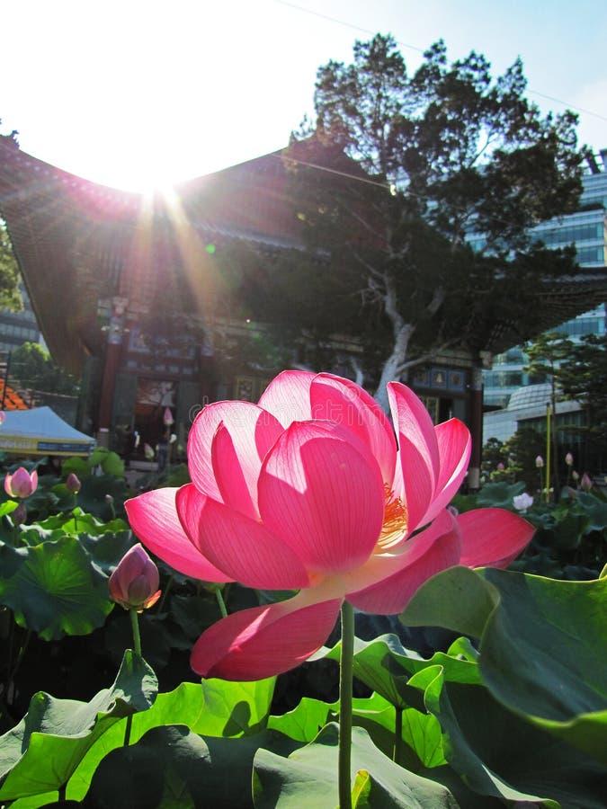Große rosa Lotosblume vor einem koreanischen buddhistischen Tempel unter Sonnenlicht stockfotografie