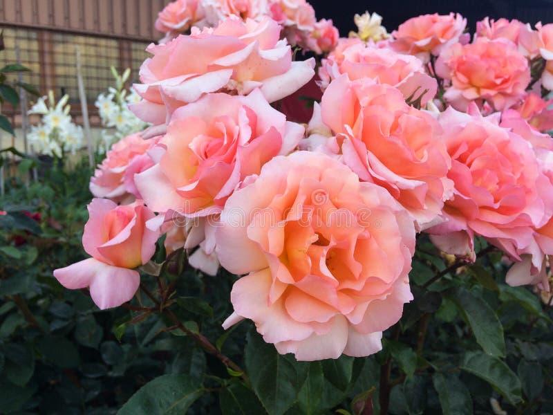 Große rosa Rosen im Sommer stockbild