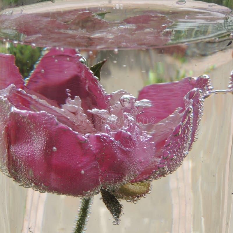 Große rote Blume mit Blasen des Wassers in einem Vase Glas stockfotos