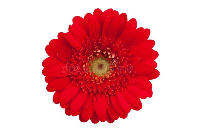 Große rote Blume mit den Blumenblättern von orange Gerbera lizenzfreie stockbilder