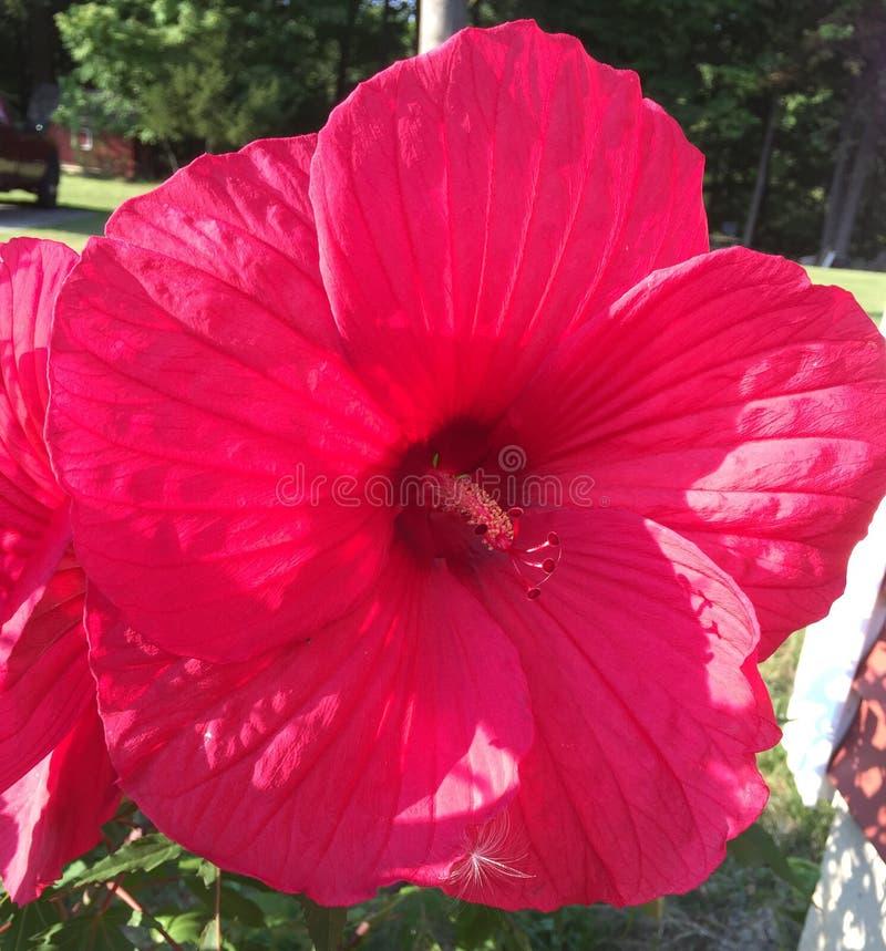 Große rote Blume mit etwas Hintergrund lizenzfreie stockbilder