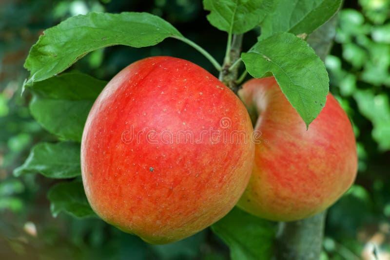 Große rote reife Äpfel auf dem Apfelbaum, neue Ernte roten appl stockbild