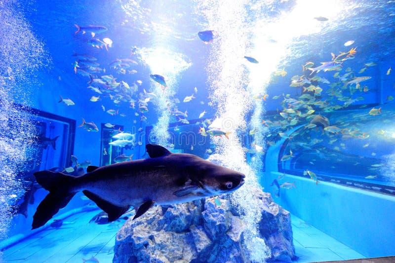 Große Süßwasserfische im tropischen Behälter stockfotografie