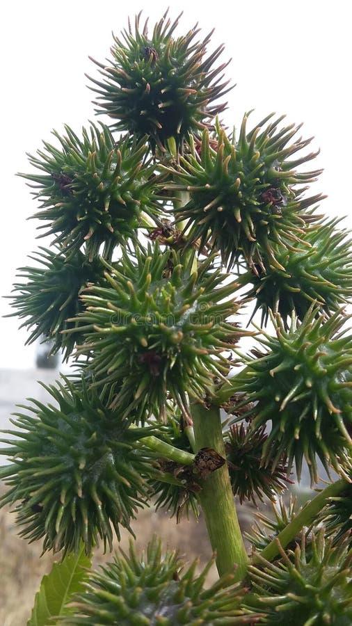 Große Samen der seltenen Pflanze lizenzfreie stockfotografie
